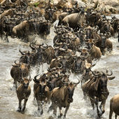 Wildebeest running in river in the Serengeti, Tanzania, Africa — Stock Photo