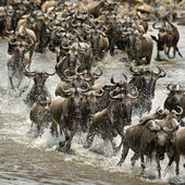 Wildebeest, crossing river Mara, Serengeti National Park, Sereng — Stock Photo