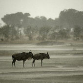 Wildebeest in the rain, Serengeti National Park, Serengeti, Tanz — Stock fotografie