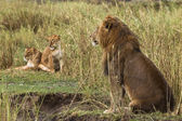 Adult lion sitting and two lionesses in the background, side vie — Stock Photo