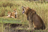Adult lion yawning and two lionesses in the background, side vie — Stock Photo
