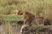 Adult lion lying and a lioness in the background, side view — Stock Photo