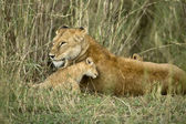 Lioness and her cub, Serengeti National Park, Serengeti, Tanzani — Stock Photo