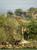 Wildebeest and giraffe in the Serengeti, Tanzania, Africa — Stock Photo