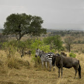 Wildebeest and zebra in the landscape, Serengeti National Park, — Stock Photo