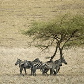 Zebra in the Serengeti, Tanzania, Africa — Stock Photo
