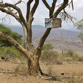 Scatola di legno nell'albero del serengeti, tanzania, africa — Foto Stock