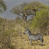 Side view of zebra standing in grassland, Tanzania — Stock Photo