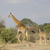 Giraffes walking in the Serengeti, Tanzania, Africa — Stock Photo
