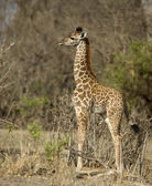 Side view of giraffe calf standing in grassland, Tanzania, Afric — Stock Photo