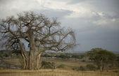 Árvore de Balboa no serengeti, na Tanzânia, África — Fotografia Stock