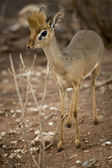 Dik dik standing, Tanzania, Africa — Stock Photo