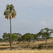 Scenic view of trees and palm tree in the Serengeti, Tanzania, Africa — Stock Photo