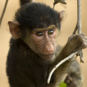 Close-up of macaque, Tanzania, Africa — Stock Photo