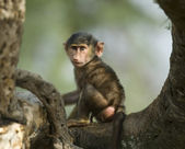 Baby monkey sitting in the tree in the Serengeti, Tanzania, Afri — Stock Photo