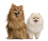 Two Spitz, 4 and 7 years old, in front of white background, studio shot — Stock Photo