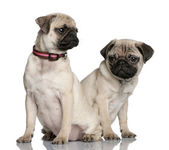 Two pug puppies, 3 and 4 months old — Stock Photo