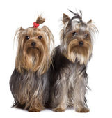 Yorkshire terriers, 9 months old, standing in front of white background — Stock Photo