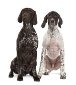 Two German Shorthaired Pointers, 3 years old, sitting in front of white background — Stock Photo