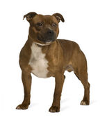 Staffordshire Bull Terrier, 19 months old, standing in front of white background — Stock Photo
