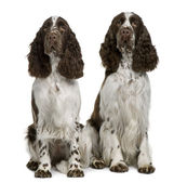 Two English Springer spaniels, 1 and 2 years old, sitting in front of white background — Stock Photo
