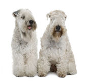 Two Soft-coated Wheaten Terriers, 1 year old, sitting in front of white background — Stock Photo