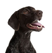 German Shorthaired Pointer, 5 years old, panting in front of white background — Stock Photo