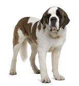 Saint Bernard, 4 years old, standing in front of white background — Stock Photo