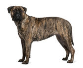 Bullmastiff dog, 1 year old, standing in front of white background — Stock Photo