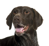 German Shorthaired Pointer dog, 5 years old, in front of white background — Stock Photo