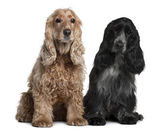 Two English Cocker Spaniels, 8 months and 1 year old, sitting in front of white background — Stock Photo