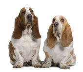 Two Basset Hounds, 1 Year Old And 3 Years Old, sitting in front of white background — Stock Photo