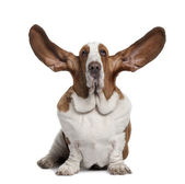 Basset Hound with ears up, 2 years old, sitting in front of white background — Stock Photo