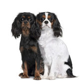 Two Cavalier King Charles Spaniels, 8 Months and 9 Month old, sitting in front of white background — Stock Photo