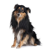 Sheltie dog, 18 months old, sitting in front of white background — Stock Photo