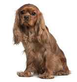Cavalier King Charles, 18 Months old, sitting in front of white background — Stock Photo