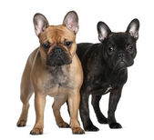 Two French Bulldogs, 1 year old and 6 Months old, standing in front of white background — Stock Photo