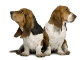 Two sulking Basset Hounds — Stock Photo