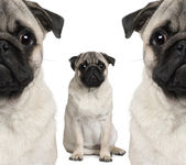 Portrait of three pug dogs sitting in front of white background — Stock Photo