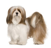 Lhasa apso, 1 year old, standing in front of white background — Stok fotoğraf