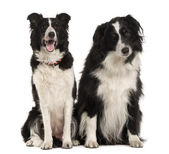 Two Border Collie, 9 years old, sitting in front of white background — Stock Photo
