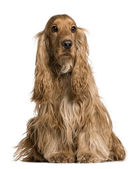Cocker Spaniel sitting in front of white background, studio shot — Stockfoto