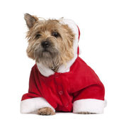 Cairn terrier in Santa coat, 9 months old, sitting in front of white background — Stock Photo