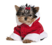 Portrait of puppy Yorkshire Terrier, 10 months old, dressed in Santa coat in front of white background — Stock Photo
