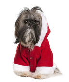 Shi-Tzu in Santa Claus suit, 2 years old, sitting in front of white background — Stock Photo