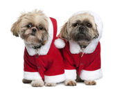 Two Shi-Tzu's in Santa Claus suits, 3 years old, standing in front of white background — Stock Photo