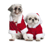 Shi-tzus in Santa coats, sitting in front of white background — Stock Photo