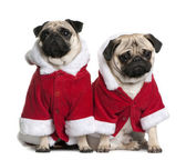 Two Pugs in Santa coats, 1 and 2 years old, sitting in front of white background — Stock Photo