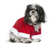 Shi-Tzu in Santa coat, 6 years old, sitting in front of white background — Stock Photo