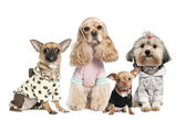 Group of 4 dogs dressed : chihuahua,shih tzu and Cocker Spaniel — Stock Photo